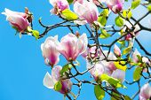 Flowers Blossoming With Violet Petals On Sunny Day. Magnolia Tree In Blossom On Blue Sky. Spring Sea poster