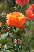 Rose-Tropical Sunset (Hybrid Tea 1999)