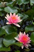 picture of corbel  - A lotus or water lily flower in asia - JPG
