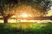 Large Tree On River Shore At Sunset On Summer Evening. The Sun Shines Through Branches Of The Tree.  poster