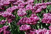 Blooming double late tulips (peony flowered tulips) in Keukenhof garden, also known as the Garden of poster