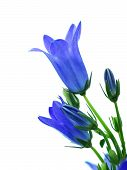 stock photo of harebell  - campanula flowers isolated on white  bell blue - JPG