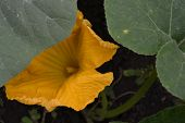Zucchini. Cucurbita Pepo Ssp. Pepo. Useful Vegetable. Green Leaves. Bushes Courgettes In The Garden. poster