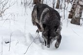 Black Phase Grey Wolf (canis Lupus) Stalks Forward - Captive Animal poster