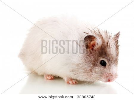 Cute hamster isolated white