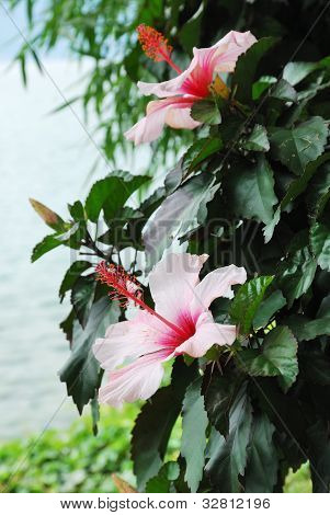 Flowering Shrub Of Hibiscus