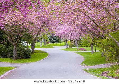 Cherry tree blossoms on a quiet country road.