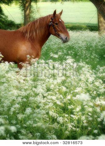 Suffolk Punch Horse In Summer Meadow