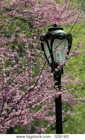 Lamp Post And Blossoms