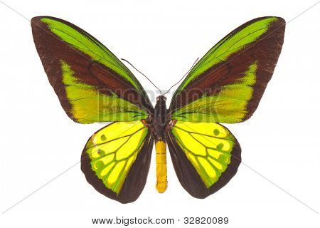 Ornithoptera goliath (Birdwing butterfly) isolated on white