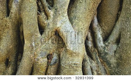 Close-up Of Parasite Tree Roots
