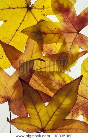 Group of yellow and orange autumn leaves on white background