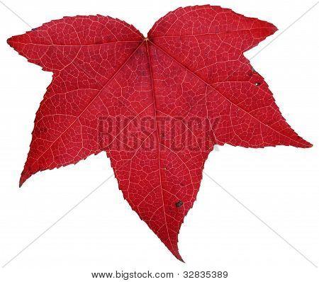 Liquidambar styraciflua red autumn leaf isolated on white background