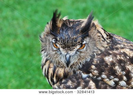 head of owl