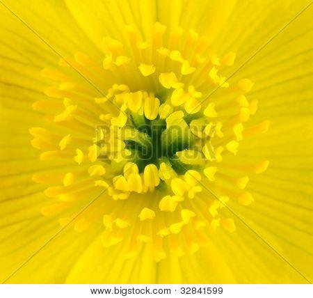 Macro Of Yellow Marsh Marigold Flower Center