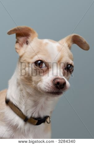 Curious Chihuahua