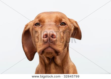 Serious Looking Hungarian Vizsla Dog Closeup
