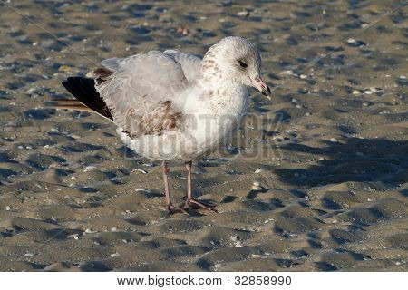 Ring Billed Gull juvenile