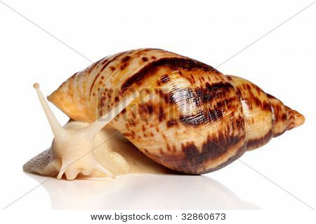 Giant African Snail Achatina Crawling