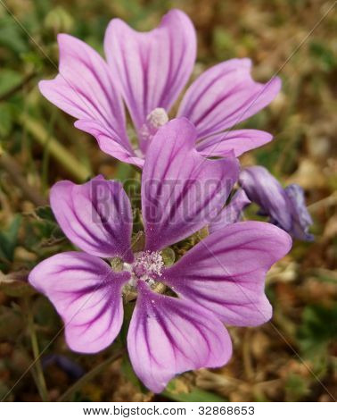 Common Mallow Flowers