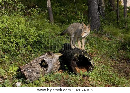 Coyote Pup Standing on Log