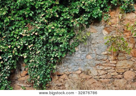 Ivy Plant On Grungy Stone Wall