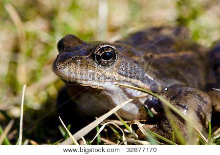 Frog Eye Macro Closeup Of Wet Amphibian Animal