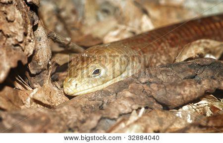legless lizard