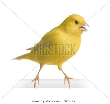 Yellow Canary - Serinus Canaria On Its Perch