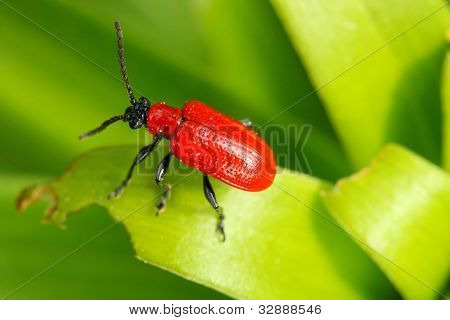 The scarlet lily beetle (Lilioceris lilii). Beetles leave considerable damage on host plants. Damage to the leaves and flowers can also leave the plants weakened and susceptible to diseases.