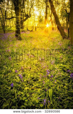 Sun rises through the trees in bluebell woods, Shropshire UK