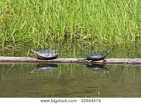 Turtles Facing Away From The Other.