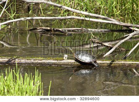 Turtle On A Log.