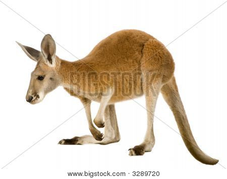 Young Red Kangaroo