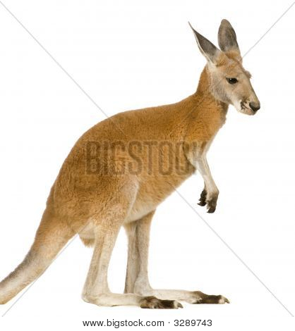 Jovem canguru vermelho