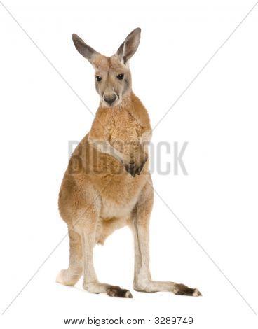 Junge Rotes Känguru