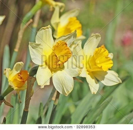 Narcissus On The Field Winh Flower Background