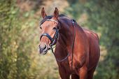 Portrait Of Graceful Thoroughbred Chestnut Horse Curiously Reaching To Something. Multicolored Horiz poster
