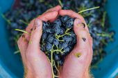 Making Wine From Grapes Crush Grapes With Your Hands. Making Wine From Black Grapes At Home Home Win poster