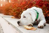 Dogo Argentino Lies On Grass In Autumn Park Near Red Leaves. Canine Background poster