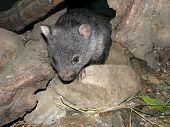 image of wombat  - this is a close up of a young wombat climbing rocks - JPG