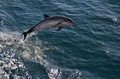 picture of bottlenose dolphin  - Juuvenile Striped dolphin playing by doing some high leaps - JPG
