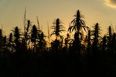 Silhouette Of Marijuana Plants At Outdoor Cannabis Farm Field In Sunset And Sun Behind Plants. Hemp  poster