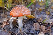 Red Fly Agaric In The Autumn Forest. Beautiful Fly Agaric. Amanita Poisonous Mushroom. poster