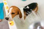 Nervous Beagle Dog In Bathtub Taking Shower. Dog Not Liking Water Baths Concept. poster