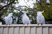 Sulphur-crested Cockatoos Seating In A Row On A Fence. Urban Wildlife. Australian Backyard Visitors poster