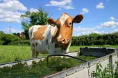 Cow At Trough