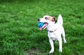 Purebred Jack Russell Terrier Dog Outdoors On Nature In The Grass. Happy Dog in The Park On A Walk poster