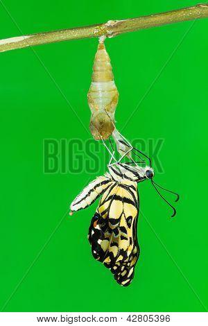 Mariposa de cal (papilio Demoleus Malayanus)