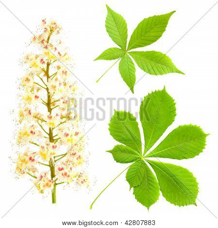 Chestnut Isolated On White. Aesculus Hippocastanum. Blossom Of Horse-chestnut Tree.